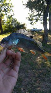 European Perch — tony carnacarpe