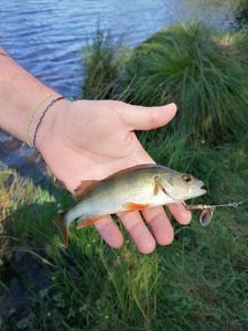 European Perch — Benjamin GAUDÉ