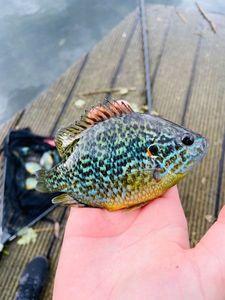 Green Sunfish — Nico Bobo