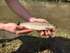 Brown Trout — Bait Fisher