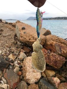 Common Cuttlefish — Hard Teck
