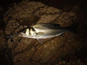 European Bass (Seabass) — Jordan Poulen