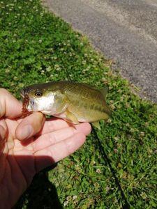 Largemouth Bass — Benjamin Janot