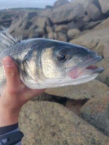 European Bass (Seabass) — Julien Deleest
