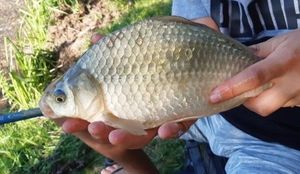 Crucian Carp — Paul le Fisher