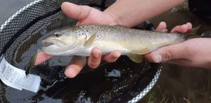 Brown Trout — Pierre Ph
