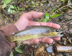 Brown Trout — Stephane Blanchon