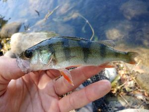 European Perch — Momo fishing