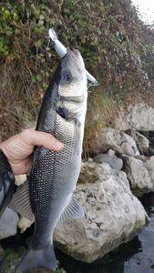 European Bass (Seabass) — Lionel Espiau