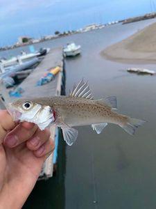 European Bass (Seabass) — Clément Larroque