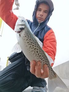 Spotted Seabass — surfcasting lx