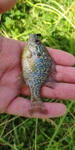 Green Sunfish — Franck Mrn