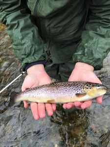 Brown Trout — Faustin Lafage