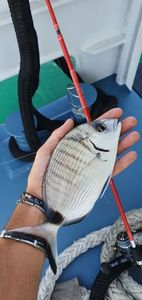 White Seabream — Thibault Dominguez