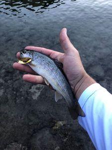 Truite Fario — Maxou pescadou