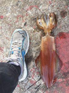 Bigfin Reef Squid — Matthieu Cormier