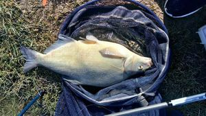 Common Bream