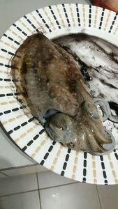 Common Cuttlefish — Mohamed Lahmar