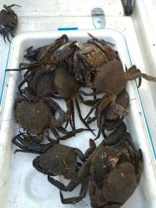 Velvet Swimming Crab — Antonin Lépinay
