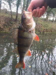 European Perch — Joffrey Flh