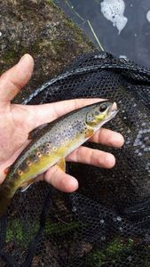 Brown Trout — Maxime THOMAS