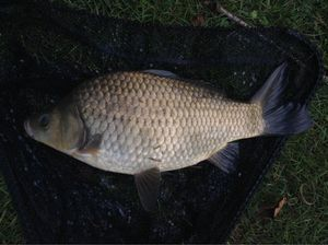 Crucian Carp — Evrard d'Oultremont