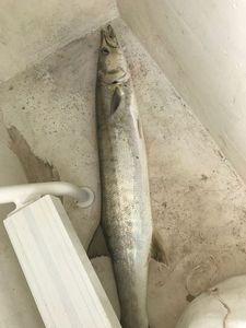 Great Barracuda — Benjamin Volait