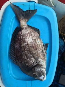 Common Two-banded Seabream — Mohammed Hatime