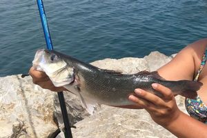 European Bass (Seabass) — Justine Messina