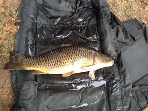 Common Carp — Thomas Godard
