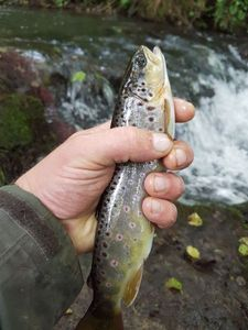 Brown Trout — Nicolas Bonbled