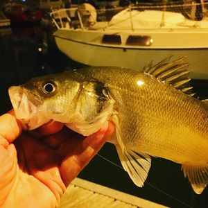 European Bass — Olivier Massot