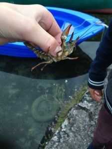 Spinycheek Crayfish