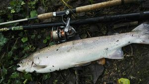 Atlantic Salmon (Landlocked) — Ti Quick