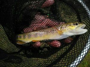 Brown Trout — Emilien Torregrosa