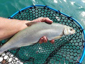 European Whitefish — Romain Loste