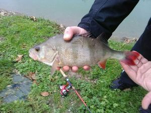 European Perch — Baptiste Plaete
