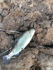 Rainbow Trout — Frederic Esteves