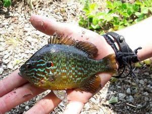 Green Sunfish — Clément à la pêche