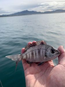 Black Seabream