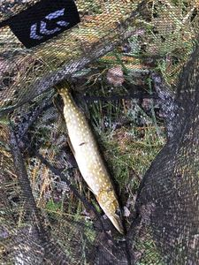 Northern Pike — PJ Simonetti