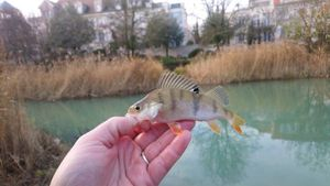 European Perch — Benoit Chapeaublanc