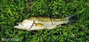 Largemouth Bass — Johann Quenault