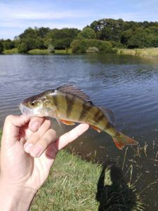 European Perch — Manciet Pierre