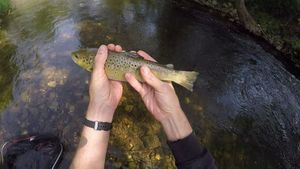 Brown Trout — Tom BaitBandit