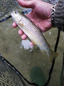 Brown Trout — FALC FISHING