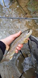 Brown Trout — Guillaumelauramaelystomlalie Courbot