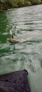 Northern Pike — Pike Finder
