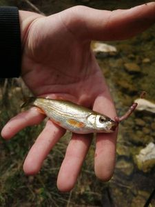 Common Minnow