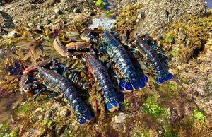 European Lobster — Jean-Philippe Schunck